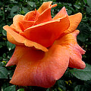 Orange Rose 1 Poster