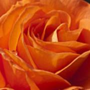 Orange Rose 2 Poster
