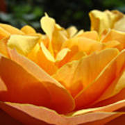 Orange Rose Art Prints Baslee Troutman Poster