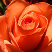 Orange Rose Photograph Poster