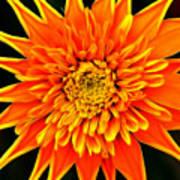 Orange Star Flower Poster