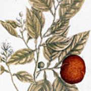 Orange Tree, 1735 Poster