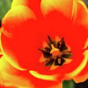 Orange Tulip Flowers In Spring Garden Poster