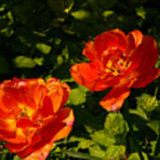 Orange Tulips In My Garden Poster