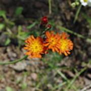 Orange Wild Flowers Poster
