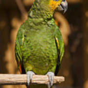 Orange-winged Amazon Parrot Poster by Adam Romanowicz