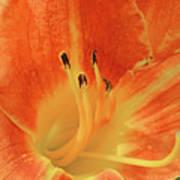 Orange-yellow Daylily Poster