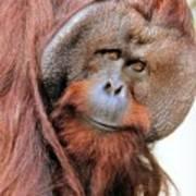Orangutan Male Closeup Poster
