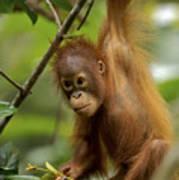 Orangutan Pongo Pygmaeus Baby Swinging Poster