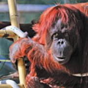 Orangutan Smile Poster