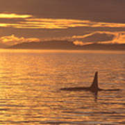 Orca Killer Whale Poster