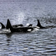 Orcas, The Killer Whales Poster