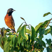 Orchard Oriole Songbird Perched On A Bush Poster