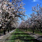 Orchard Trees Blossoming Poster