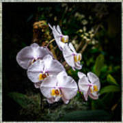 Orchid 1 Triptych Poster