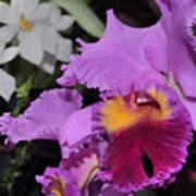 orchid 942 Purple Brassolaeliocattleya  Poster