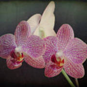 Orchid Beauty Poster