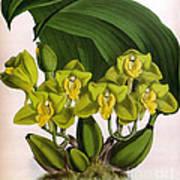 Orchid, Bifrenaria Aurantiaca, 1891 Poster