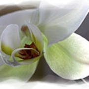 Orchid for Valentines Day Poster
