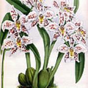Orchid, O. Alexandrae Plumatum, 1891 Poster