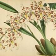 Orchid Odontoglossum Andersonianum Grenada  Poster