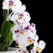 Orchid Phalaenopsis White Flower Poster