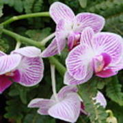 Orchid Pink Poster