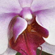 Orchid Portrait In Craquelure Poster