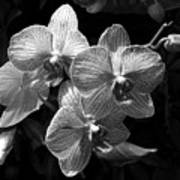 Orchids In Black And White Poster
