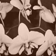 Orchids In Sepia Poster