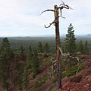 Oregon Landscape - Confused Tree At Lava Butte Poster