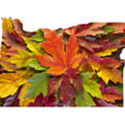 Oregon Maple Leaves Mixed Fall Colors Background Poster