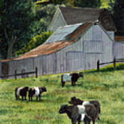 Oreo Cows In Napa Poster