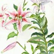 Oriental Lily Mona Lisa Liliaceae Poster