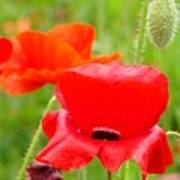 Oriental Poppy Flower Art Prints Poppies Red Baslee Troutman Poster