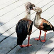 Orinoco Geese Touching Heads On A Boardwalk Poster