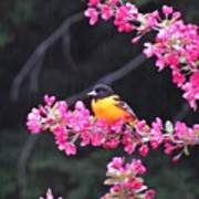 Oriole On Crabapple Poster