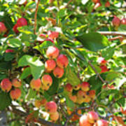 Ornamental Apples On A Tree Poster