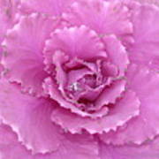 Ornamental Cabbage With Raindrops - Square Poster