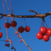 Ornamental Crabapple Branch Poster