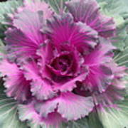 Ornamental Red Cabbage Poster