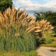 Ornamental White Pampas Grass-1 Poster