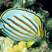 Ornate Butterflyfish Poster