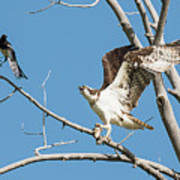 Osprey And Black Billed Magpie Poster
