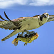 Osprey And Catfish Poster
