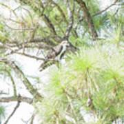 Osprey Applesauce Poster