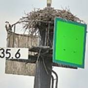 Osprey At Its Nest In A Navigation Marker Poster