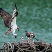 Osprey Bringing Fodd To The Babies Poster