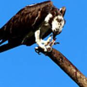 Osprey Feeding 014 Poster