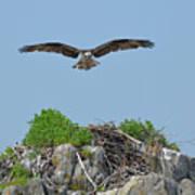 Osprey Flying Over A Bird's Nest Poster
